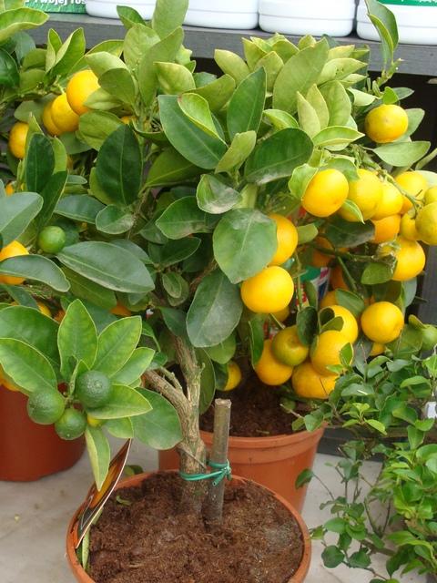 Как ухаживать за citrus calamondin в домашних условиях